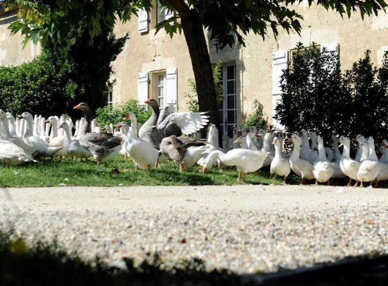 Un reportage sur l'élevage des canards