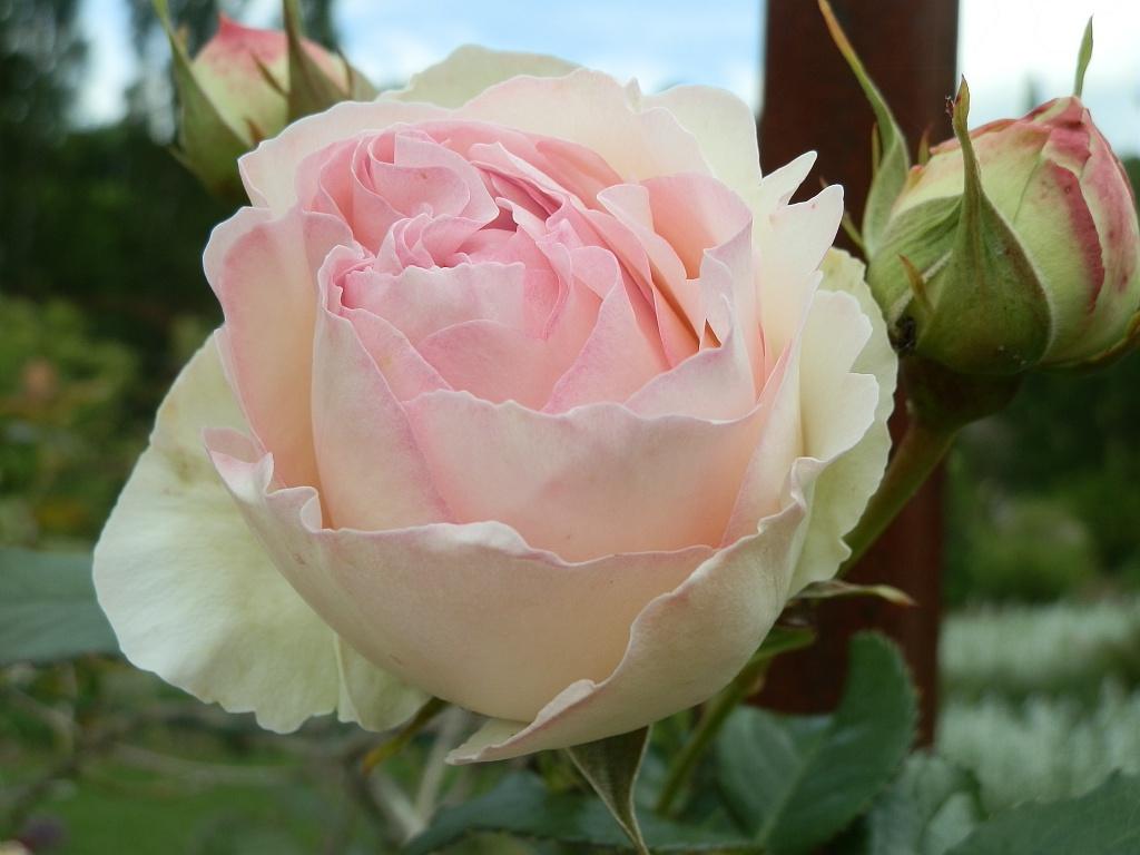 Jardin Vassevin (rose)